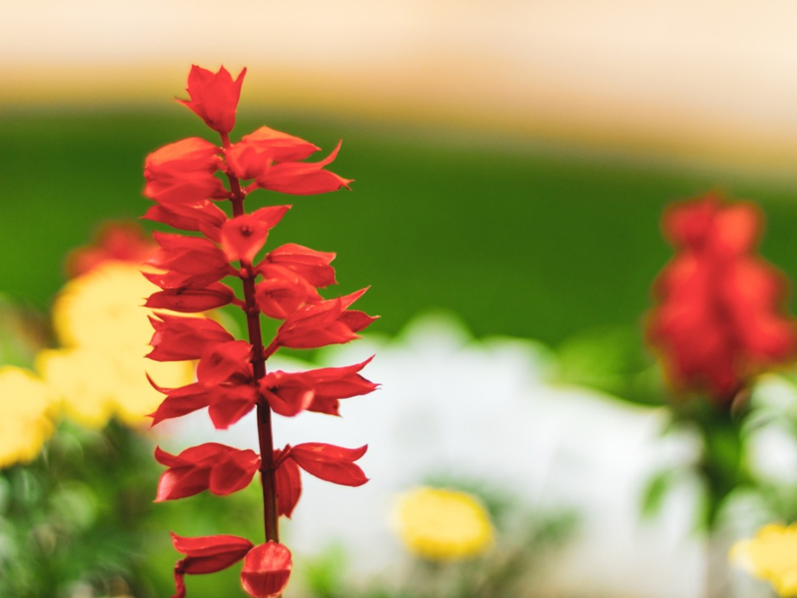 What Is A Cardinal Flower Information About The Cardinal Wildflower Plant