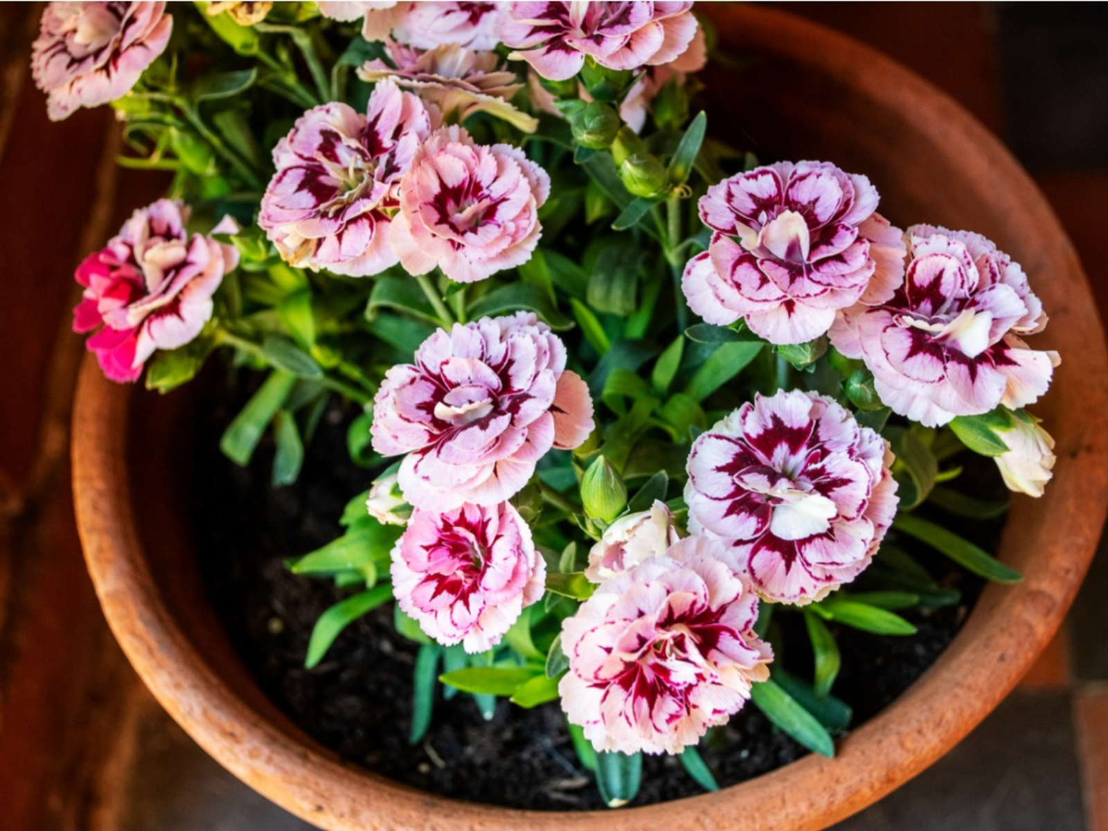 Planting Carnation Seeds How To Grow Carnation Flowers