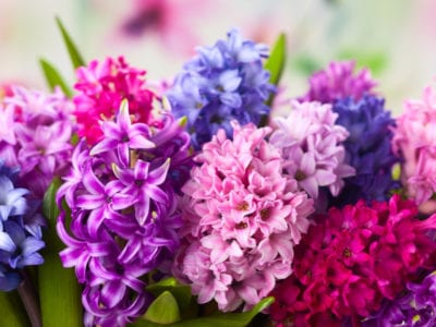 MIXED COLOUR HYACINTHS SPRING FLOWERING