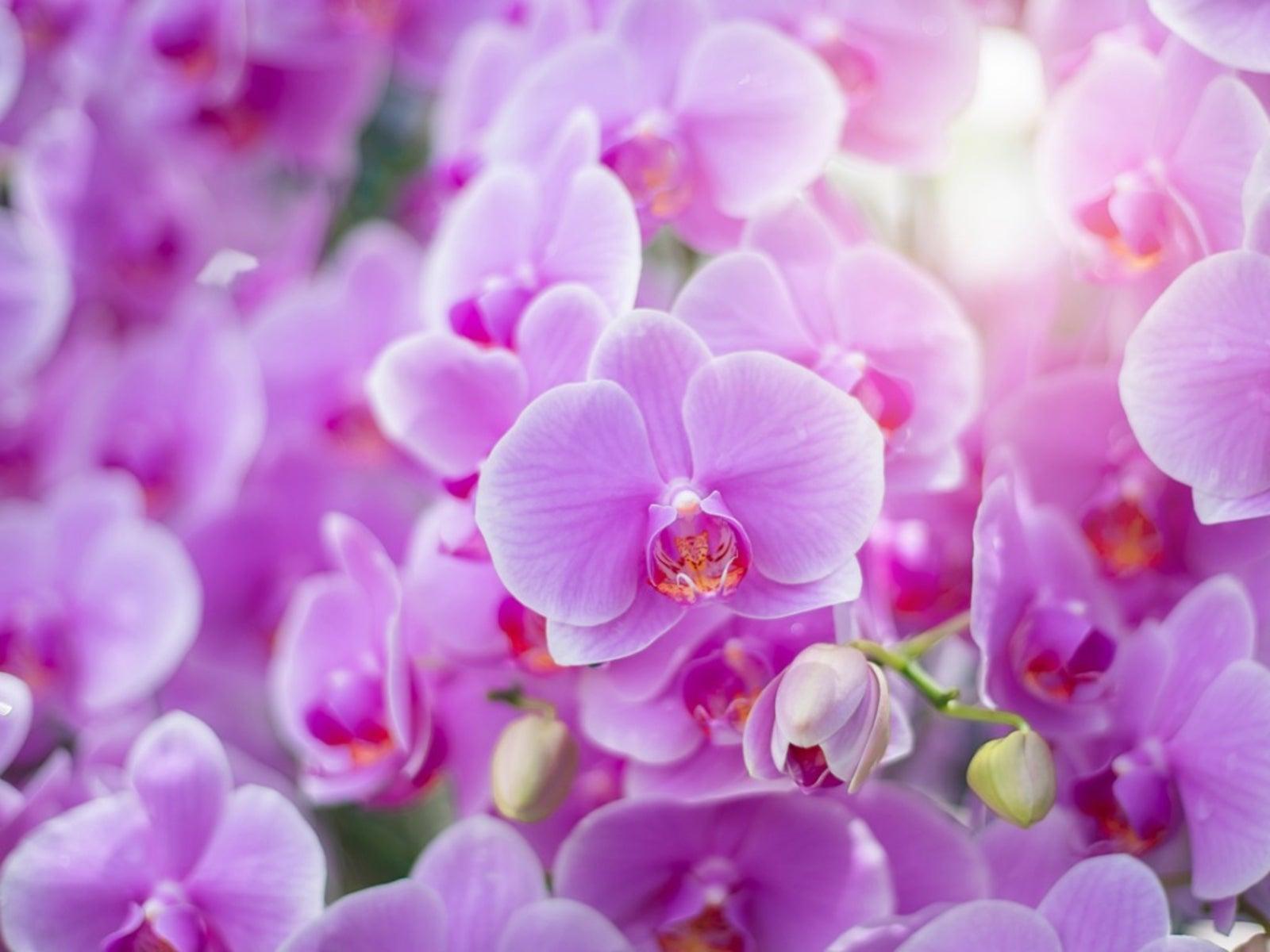 orchids, romantic flowers