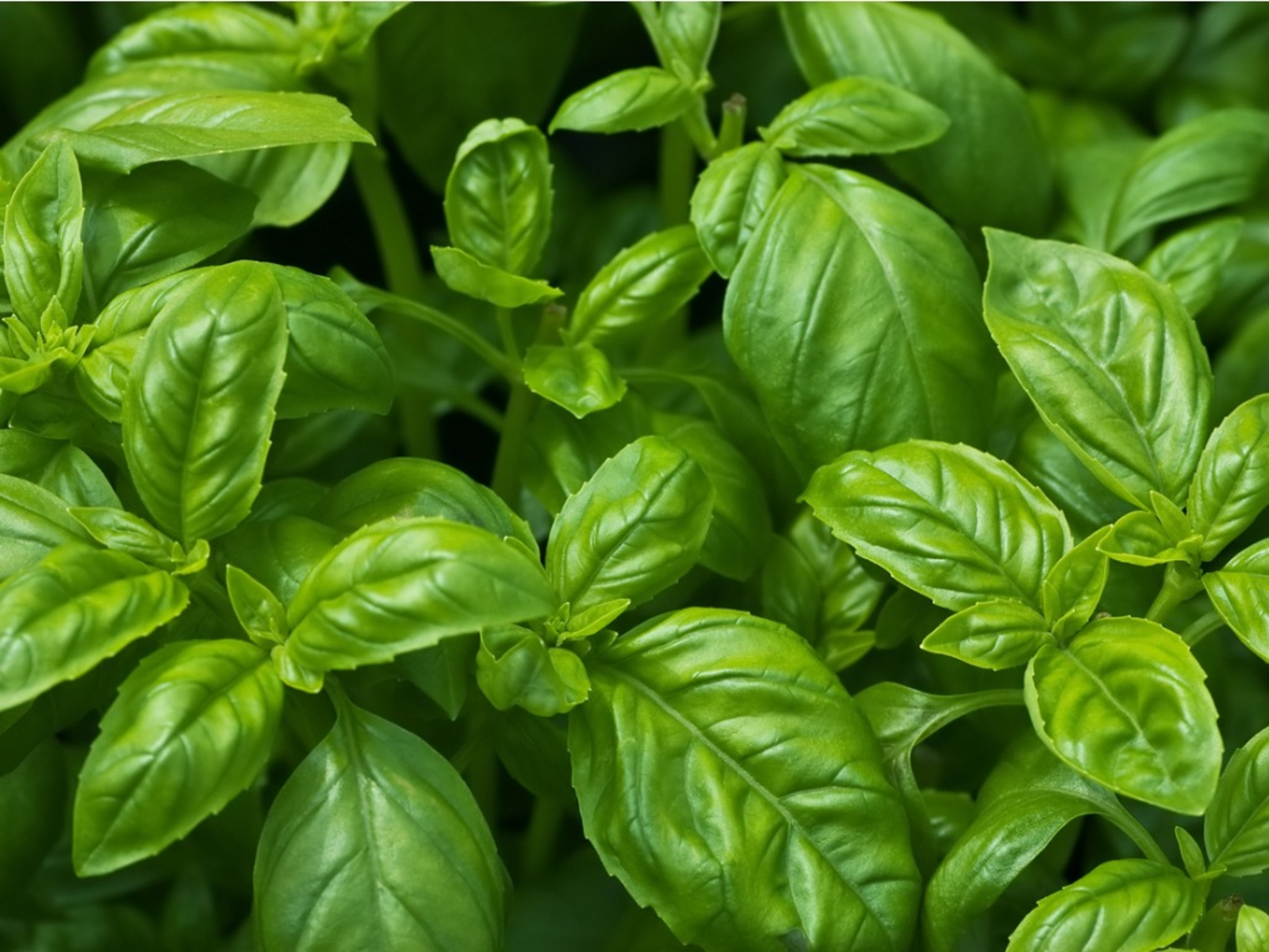 Growing Basil - How To Grow Basil Plants In Your Garden