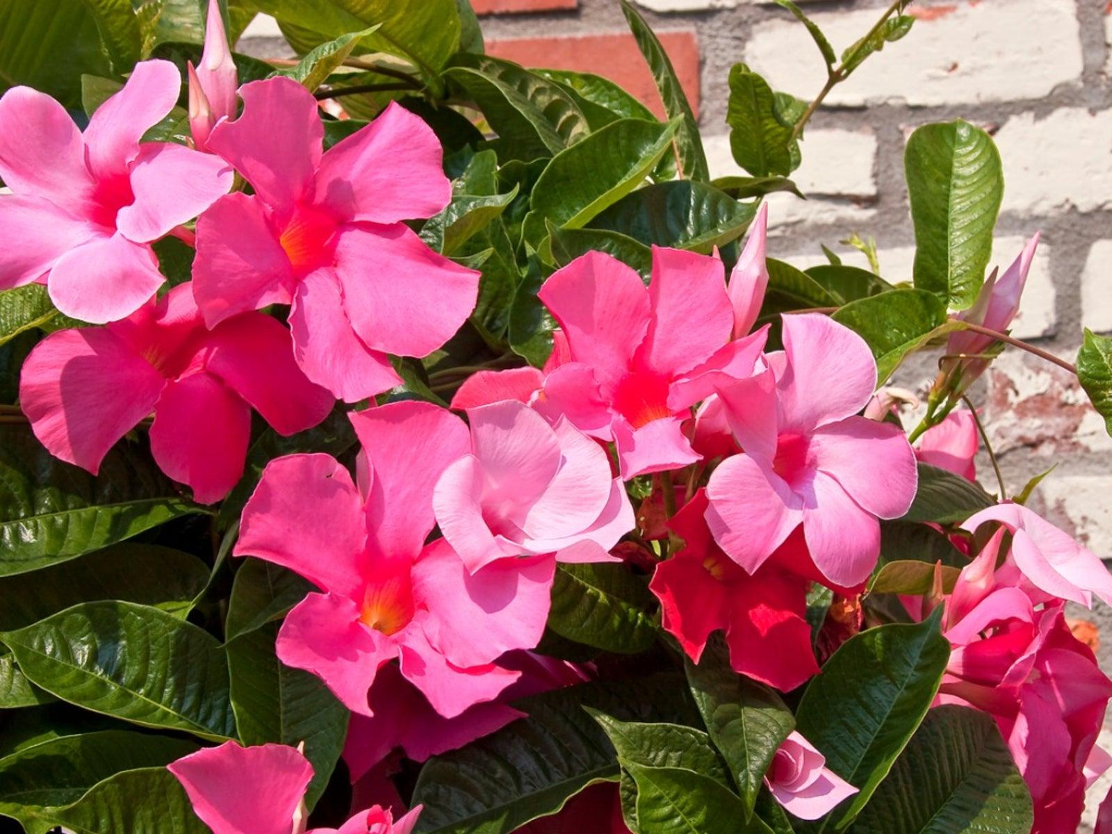 Mandevilla Plant Care - Growing Mandevilla In Your Garden