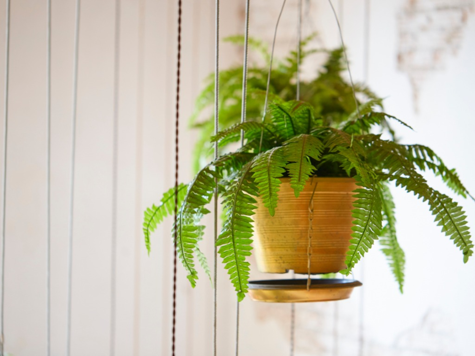 Boston Fern Care How To Take Care Of A Boston Fern