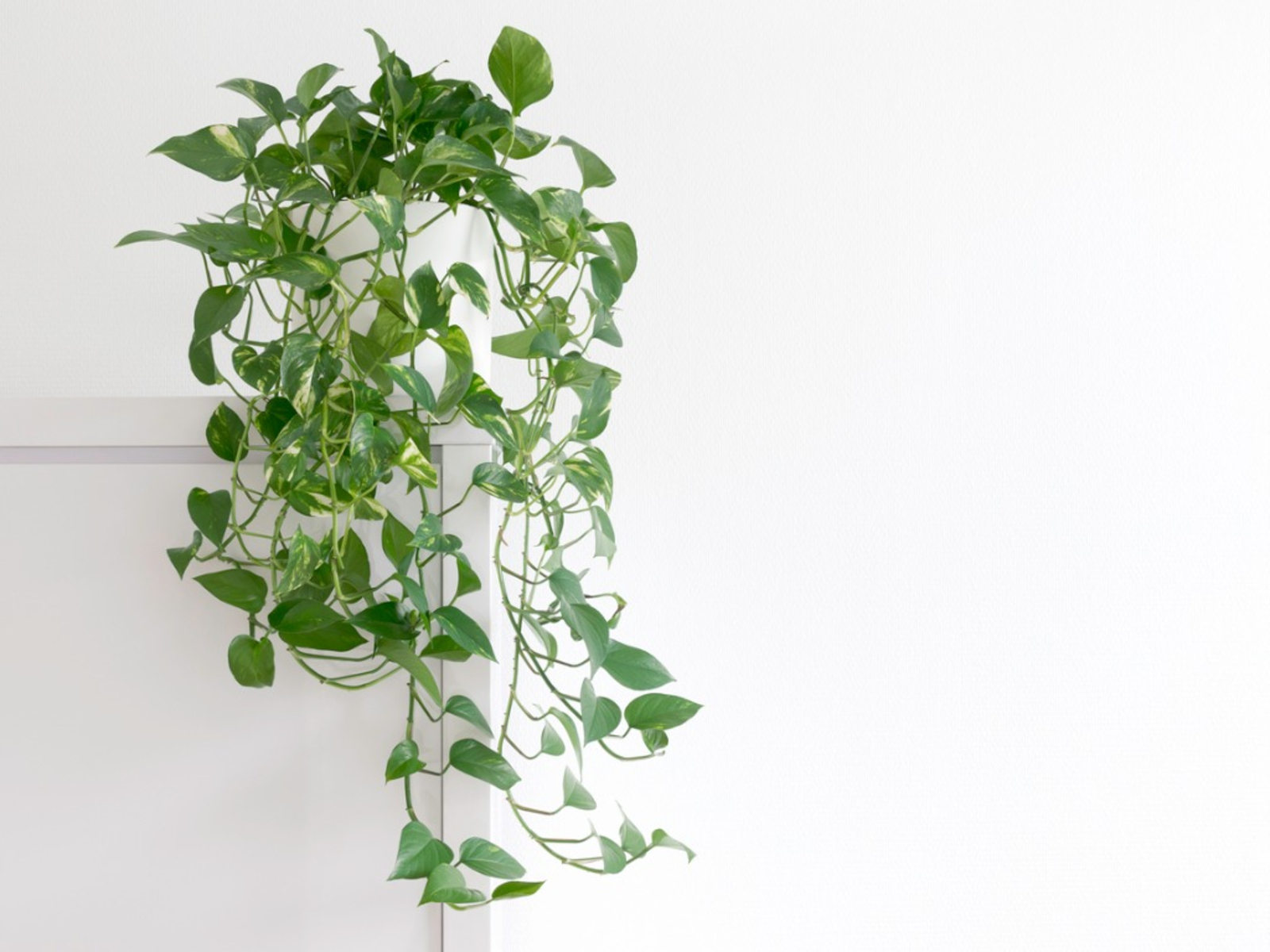 Pothos Plant Tips For Easy Pothos Care