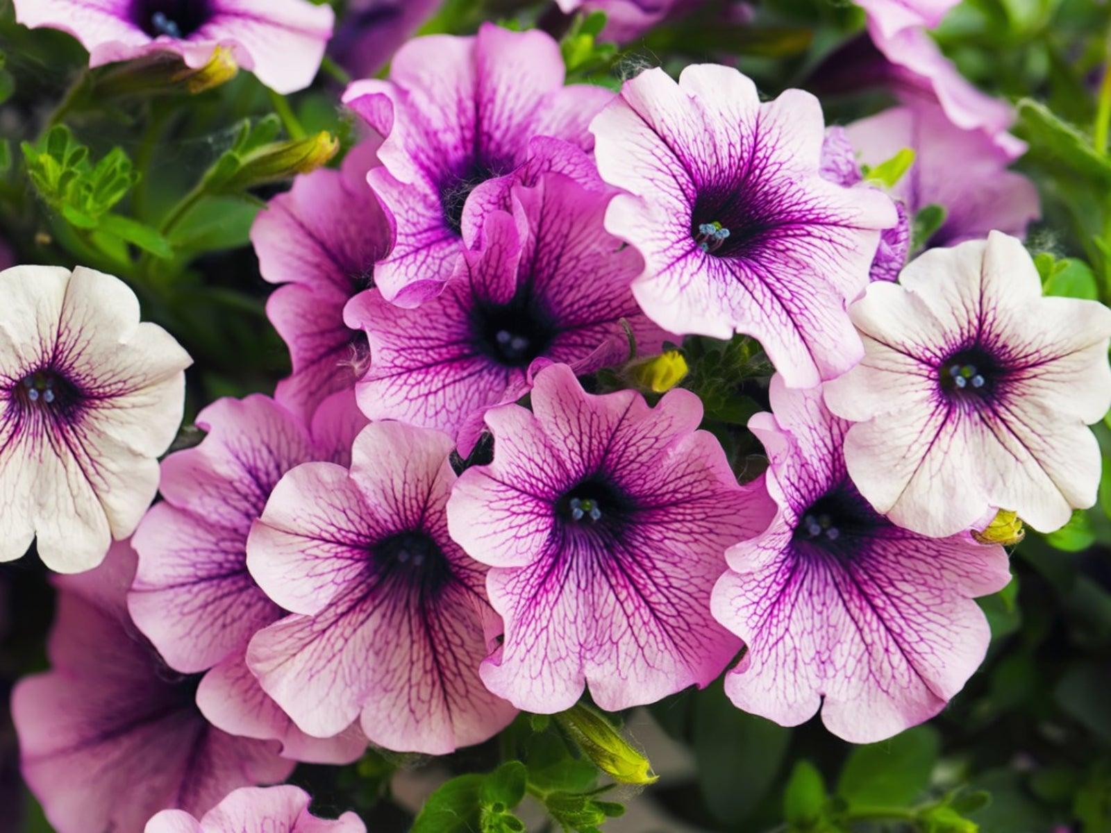 Growing Petunias Tips For Petunia Care