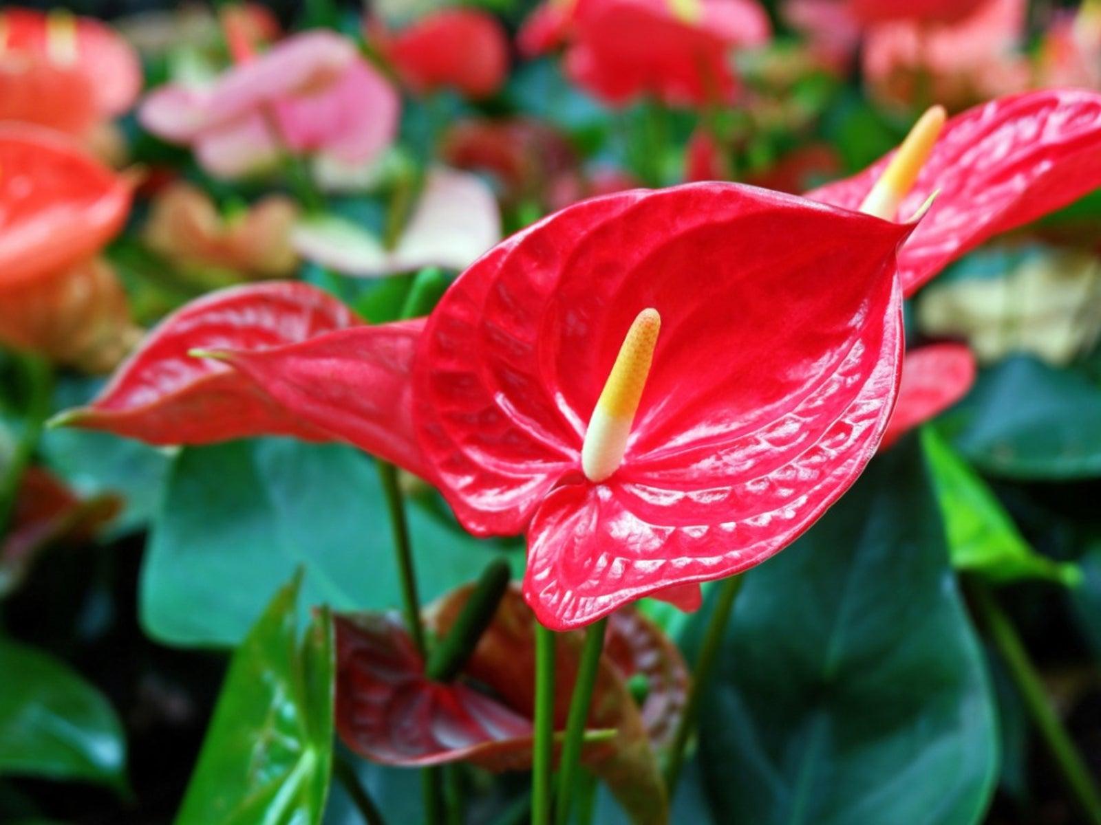 TÌNH YÊU CÂY CỎ ĐV.3 - Page 32 Red-anthurium-flowers