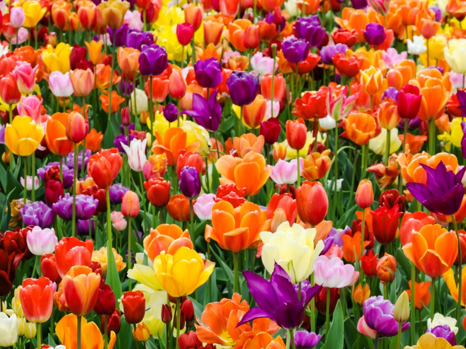 Getting Tulips To Bloom Every Year Reasons And Fixes For Non Flowering Tulips