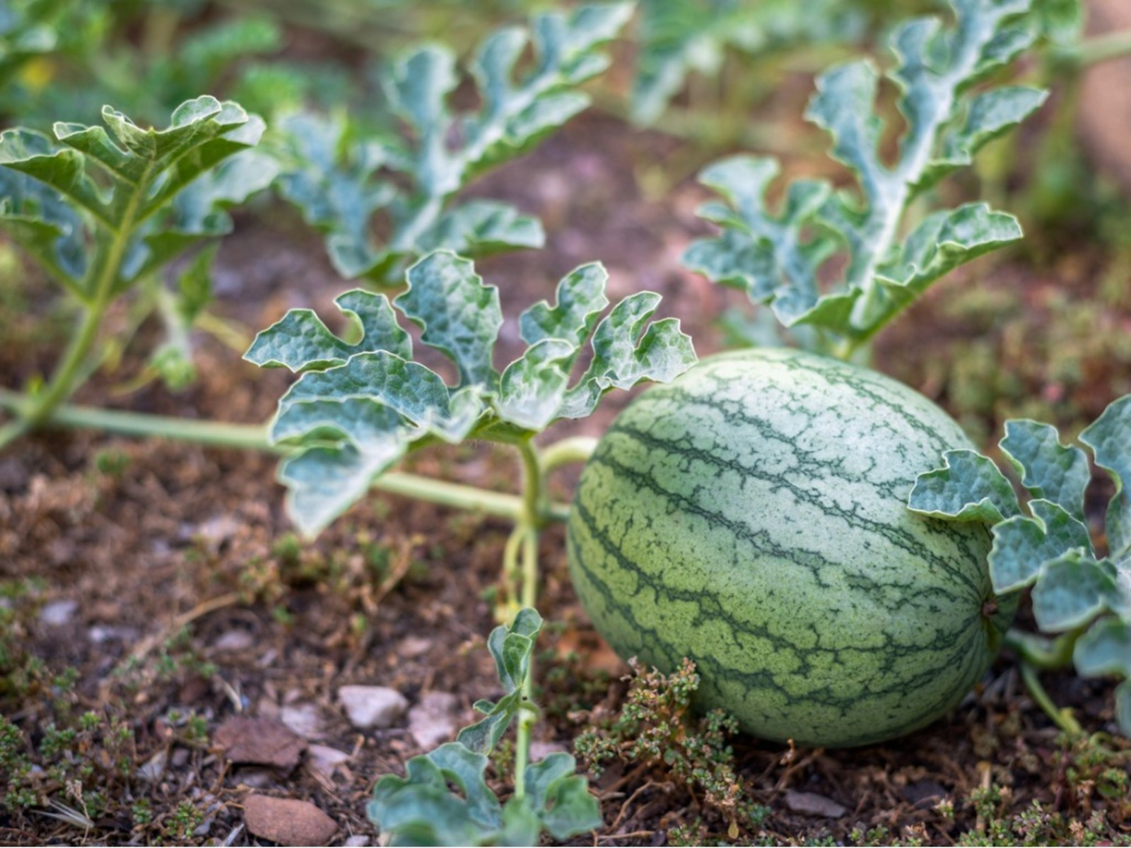 Tips For Watering Watermelons