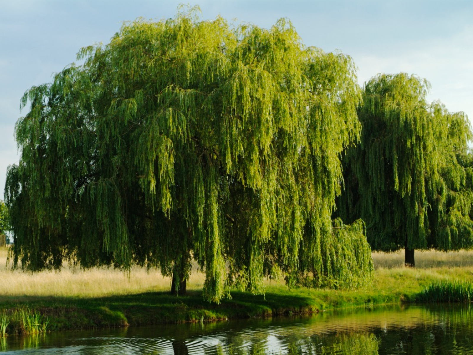 Willow Tree Care Tips For Planting Willow Trees In The Landscape