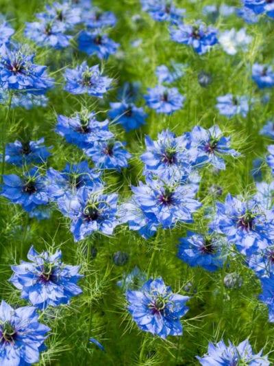 blue-nigella-damascena-flowers-400x533.jpg (400×533)