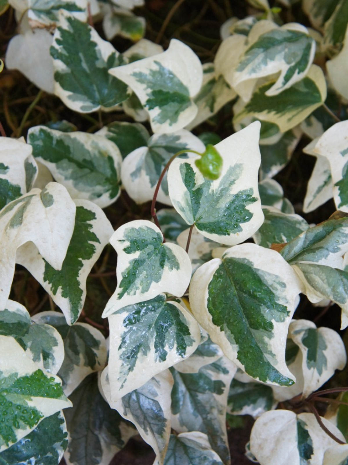 Algerian Ivy Information How To Care For Algerian Ivy In The Garden