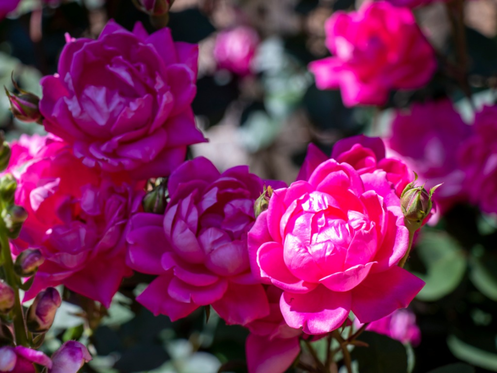 My Knockout Roses Are Spindly Fixing Leggy Knockout Rose Plants