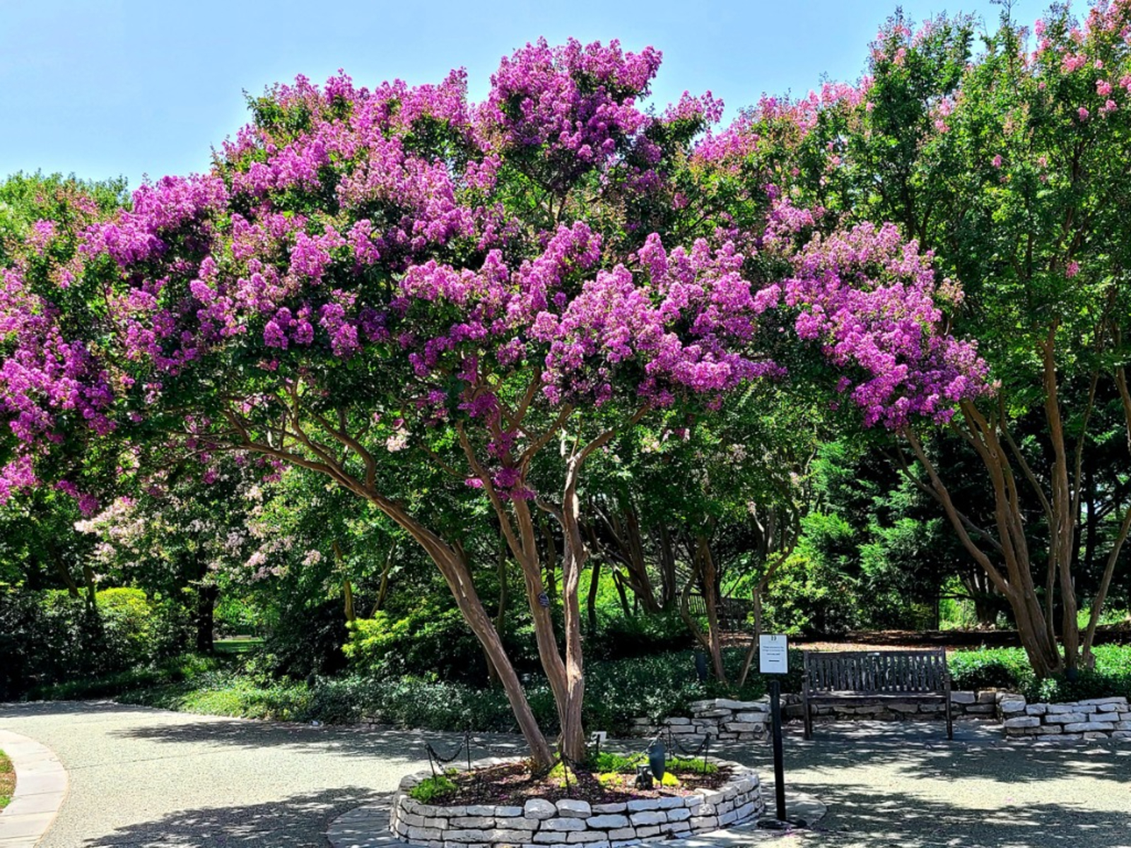 Crepe Myrtle Bark Diseases Learn About Crepe Myrtle Bark Scale Treatment