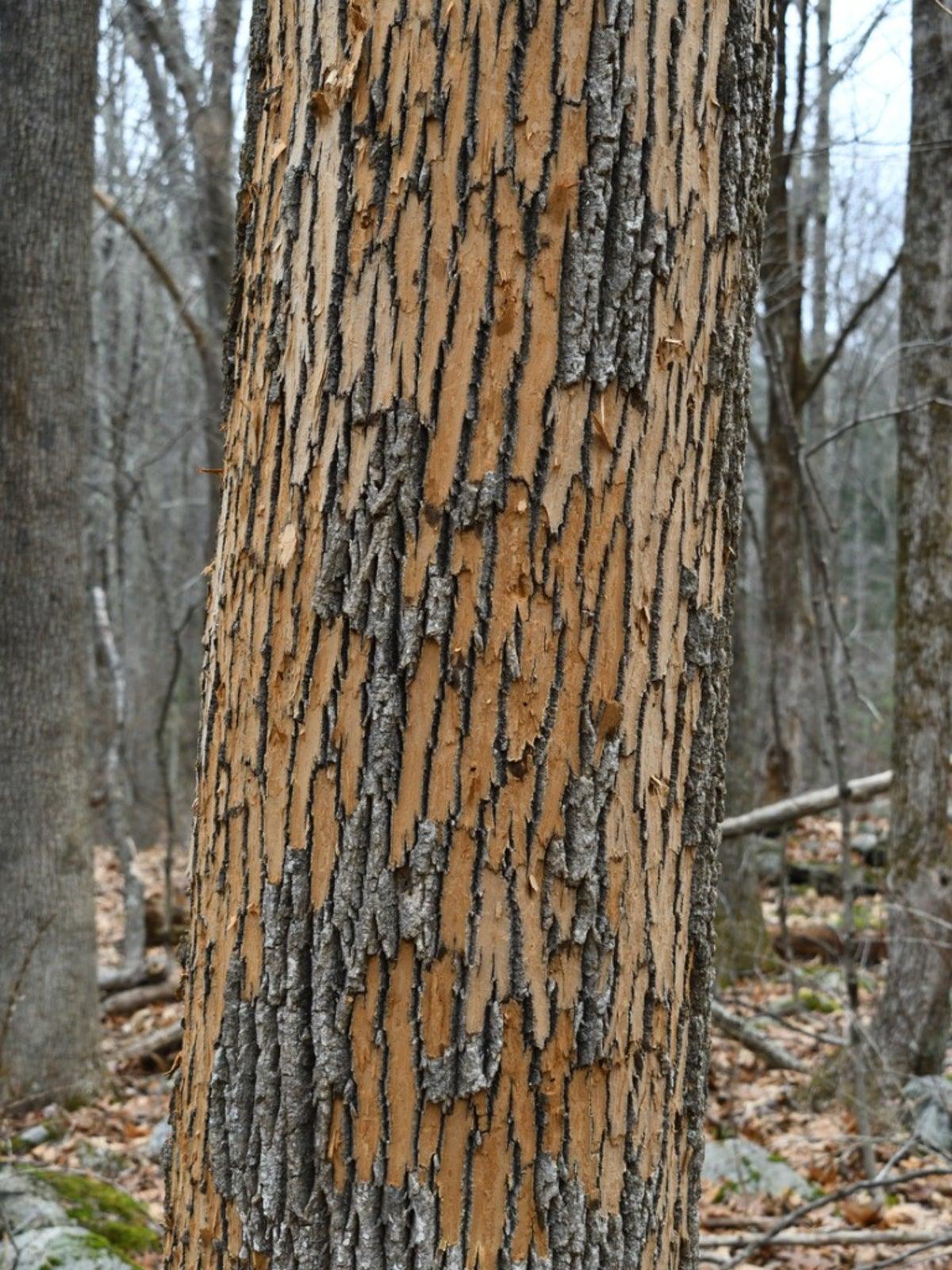Ash Tree Bark Peeling Reasons For Bark Coming Off Ash Trees
