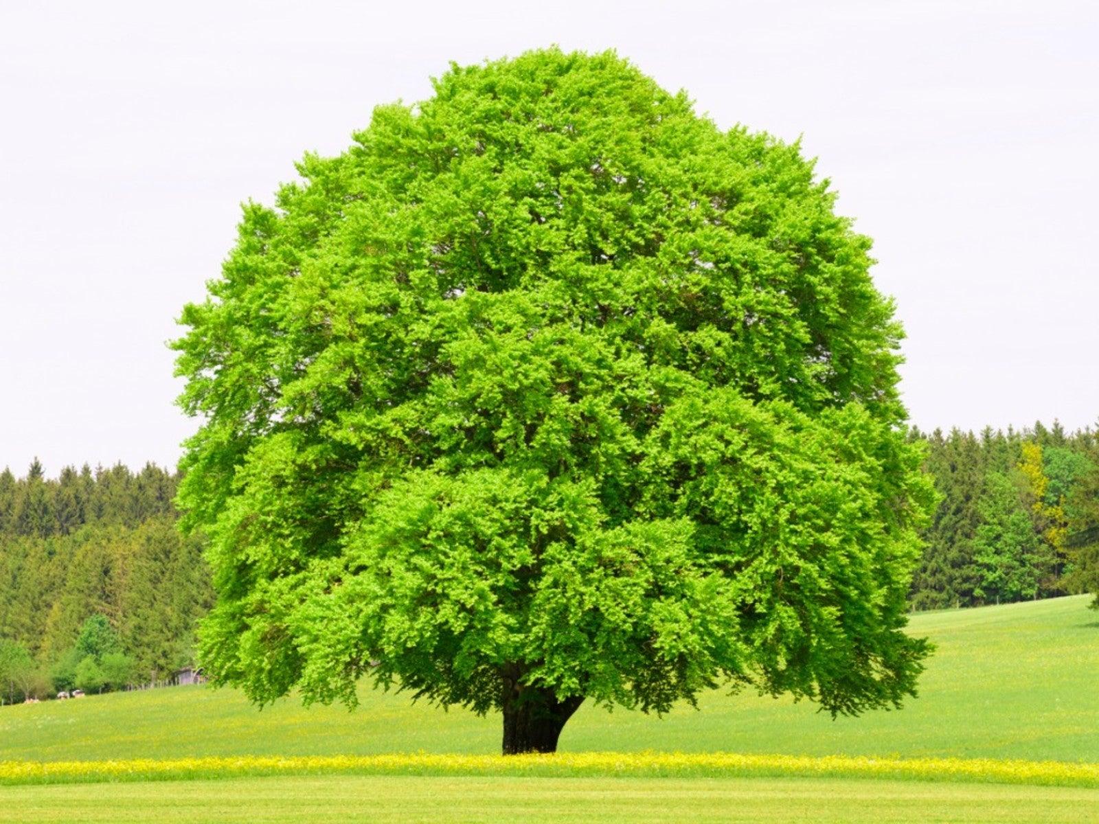 https://www.gardeningknowhow.com/wp-content/uploads/2021/02/single-big-beech-tree.jpg