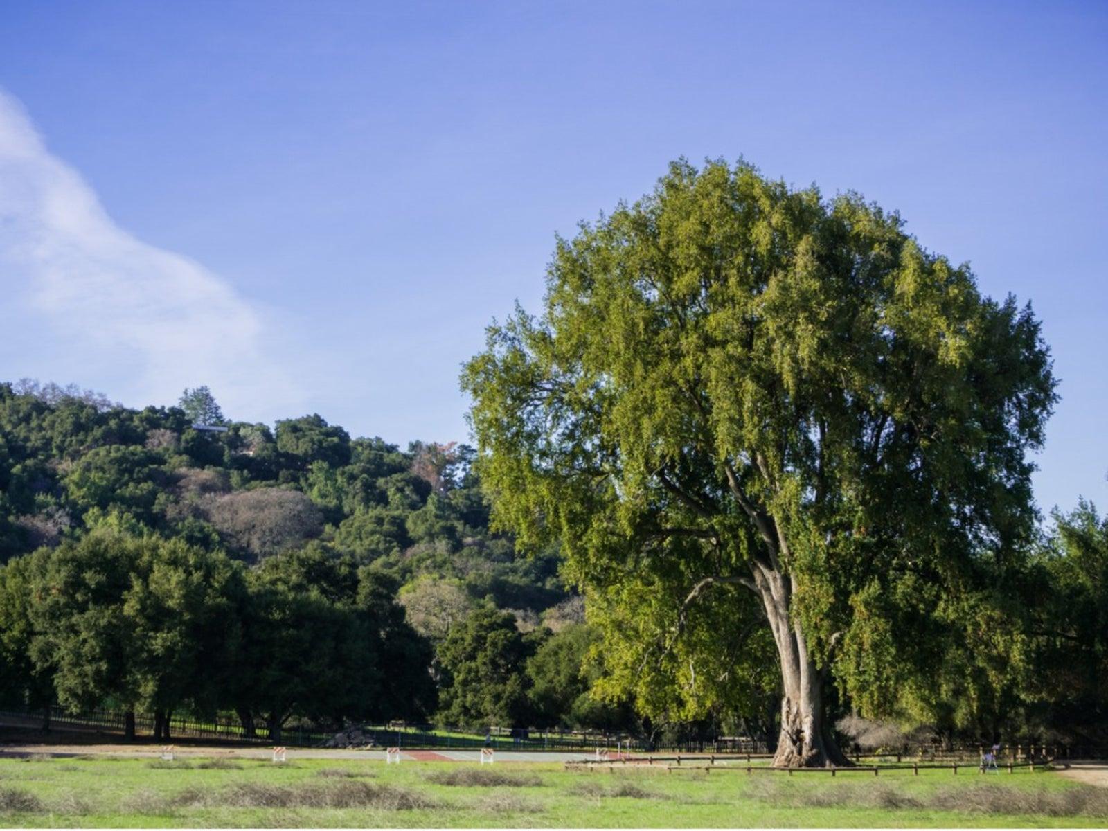 What Is A California Laurel: Growing California Bay Laurels