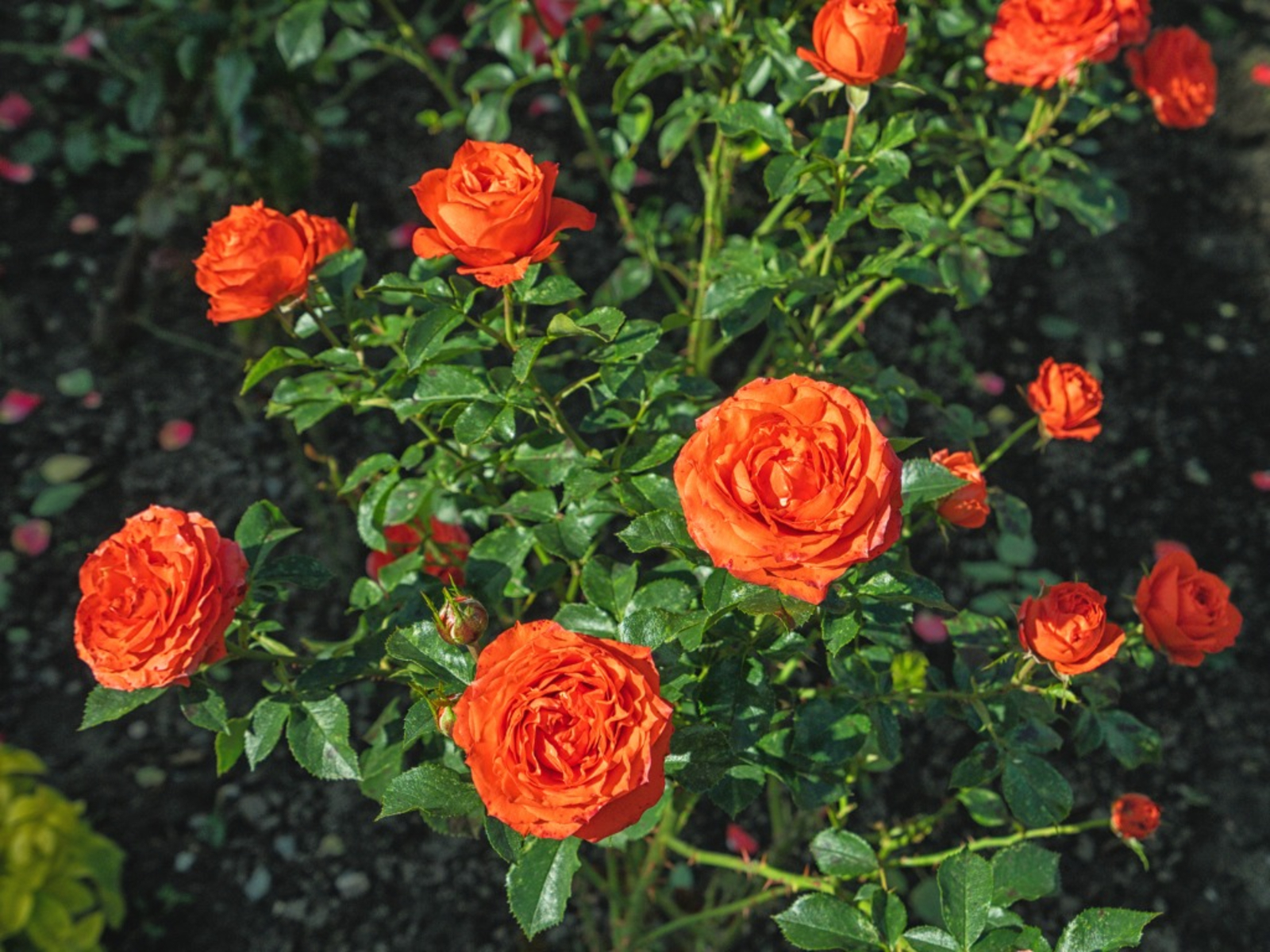 Tips On Planting Rose Bushes In Fall