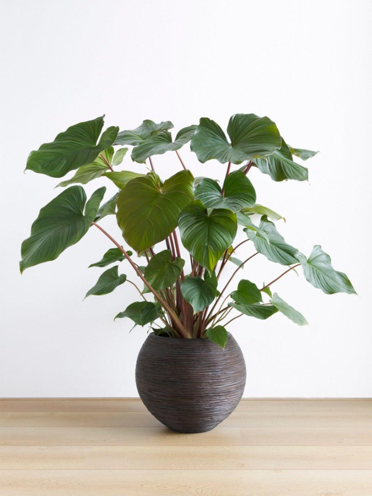 Homalomena Care   Tips For Growing Homalomena Plants