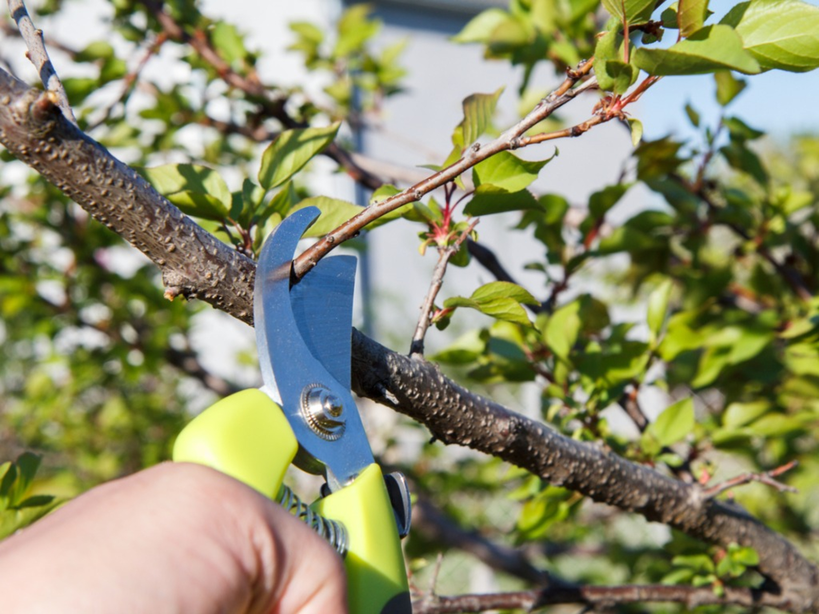Apricot Pruning Tips How And When To Prune Apricot Trees
