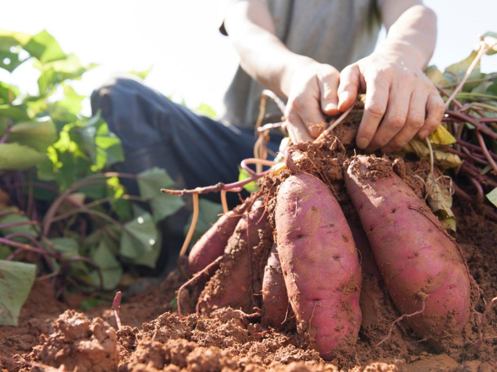 Start Harvesting Your Sweet Potatoes