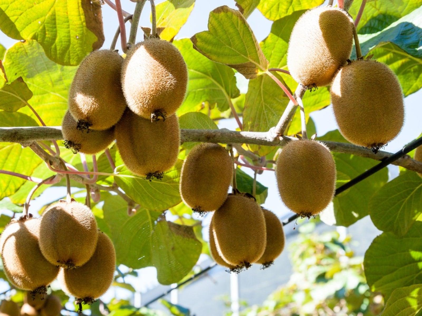 Kiwi Fruit Harvest - When And How To Pick A Kiwi